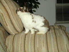 Thump hanging out with Mom on the couch (happybun) Tags: cute bunny bunnies outside funny babies rabbits