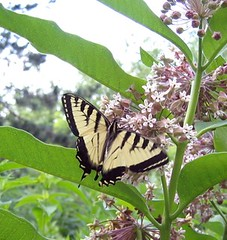 Yellow swallowtail on milkweed.