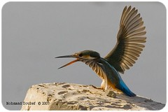 Kingfisher - Dance of love (dawey [Mohammad Alhameed]) Tags: portrait bird 20d nature birds digital canon lens happy raw iso400 canon20d navy national kingfisher kuwait dslr  mohammad kuwaitcity sandisk eos20d f9 mohanad rawfile voluntary 400mm  yousef mohamad jahra picturecollection vwc   canonef40056l animalkingdomelite  kuwaitwildlife canon400mm q8picturescom conon20d dawey birdfinders lens400mm   kuwaitvoluntaryworkcenter  photovwc kuwaitvwc