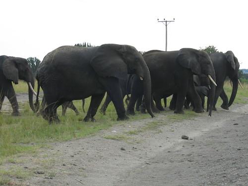 Uganda - QENP Elephants Big Group