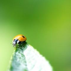 Ladybird on the Edge! (limerickdoyle) Tags: macro green bug insect leaf insects bugs ladybird ladybug canon400d ladybirdontheedge