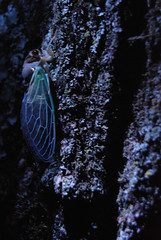 Cicada Molted