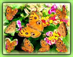 Collage of Peacock Pansy (Junonia almana javana) surrounded by its miniature self