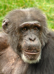 Sitting pretty (Mr Grimesdale) Tags: animals chimp chester chimpanzee primate captivity chesterzoo mrgrimsdale stevewallace photofaceoffwinner pfogold mrgrimesdale grimesdale