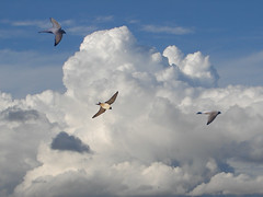 Swallows on a cloudscape (Valter Jacinto | Portugal) Tags: clouds nuvens swallow cloudscape andorinha cumuluscongestus geo:country=portugal fiveflickrfavs geo:region=europe