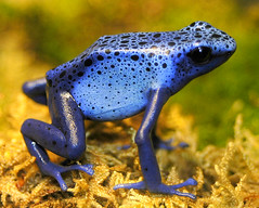 Poison Dart Frog of the blue variety - by ucumari