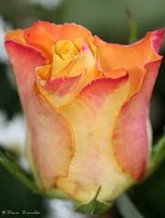 Rosa - Rose 59 01-09-07 581 (Flvio Cruvinel Brando) Tags: flowers brazil naturaleza flores flower color macro nature colors rose braslia brasil cores colorful lovely1 natureza flor rosa fiori cor colorida colorido