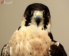 ( ) Tags: bird falcon falconry  naze   shahine    jrna