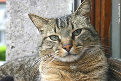 Tigre (Antonella Ravasi) Tags: cats cat gatto gatti tigre 2010 antonella tigrino