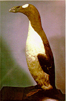 Vassar's Great Auk; currently at Royal Ontario Museum