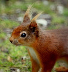 Red Squirrel - out for a scamper! (SteveJM2009) Tags: uk red cute eye june woodland hair amazing furry squirrel nt coat ears whiskers dorset endangered reds rare hairs 2010 tufty redsquirrel stevemaskell brownseaisland dwt dorsetwildlifetrust specanimal photocontesttnc10