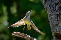 Takeoff (~ Michaela Sagatova ~) Tags: bird nature flight dundas nesting bif flycatcher greatcrestedflycatcher dvca michaelasagatova myiarchuscrintitus