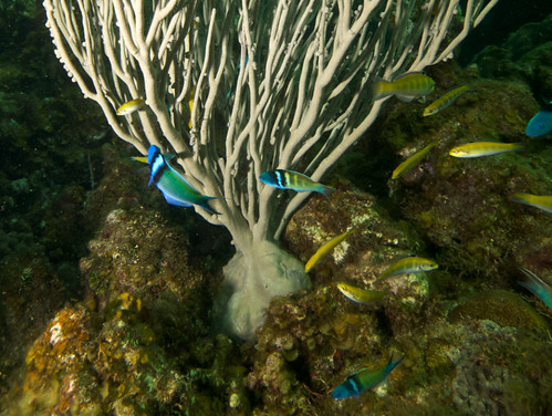 Bluehead wrasses