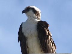 Osprey Watching the Days Activities (cjbphotos1) Tags: california birds sandiego lajolla osprey birdsofprey thecove