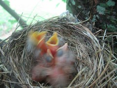 Four baby robins
