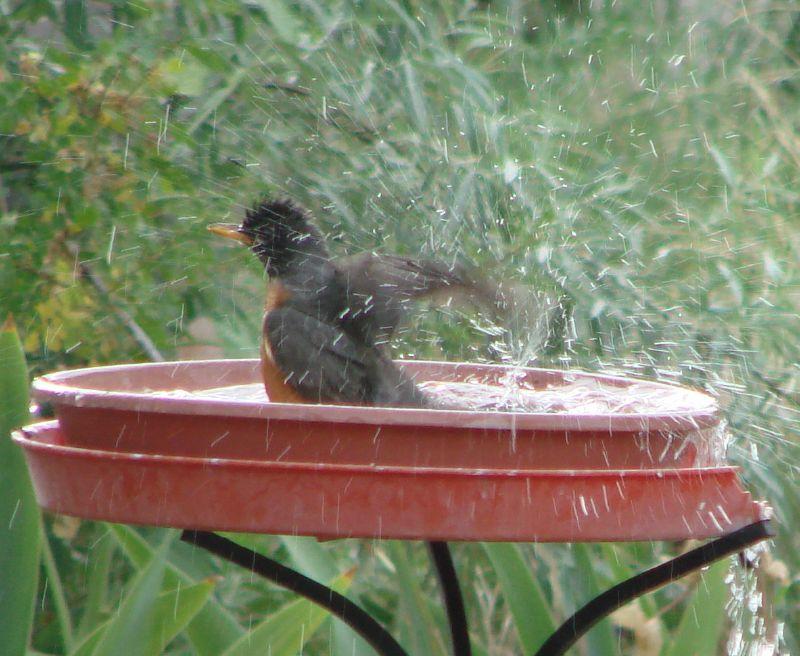 robin bathes