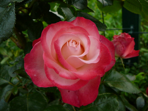 Rosengarten 2007 (14)