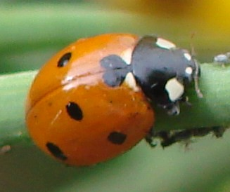 "ladybug • <a style=""font-size:0.8em;"" href=""http://www.flickr.com/photos/10528393@N00/583259503/"" target=""_blank"">View on Flickr</a>"