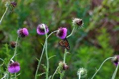 (mightyquinninwky) Tags: orange white black green butterfly geotagged dof purple bokeh thistle award invite isawyoufirst onlythebestare geo:lat=37619126 geo:lon=88067865 bestofformyspacestation