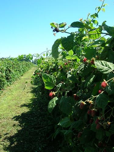 mega berries