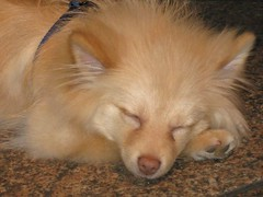 IMG_0737 (kelaltieri) Tags: bear nyc newyorkcity sleeping dog canon puppy manhattan pomeranian funwithfriends