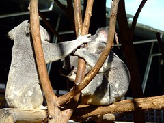 Round 1 - FIGHT! (End of Level Boss) Tags: cute animal australian australia koala qld queensland lou marsupial australiazoo 2007  coala    koaala     koal      hayopngkoala  gingaithucchu