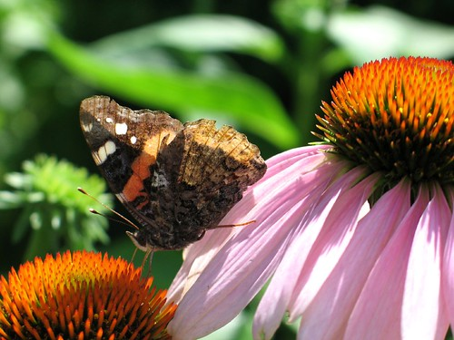 Butterly moving between purple coneflowers