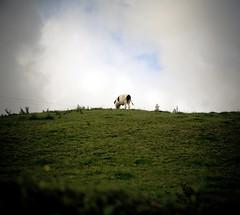 Lonely Cow (C) Aug 2007