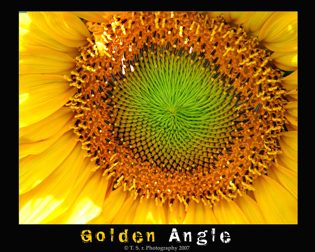 Sunflower Golden Angle