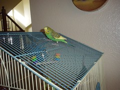 uponaroof (PhotoPieces) Tags: bird budgie parakeet ilovebirds
