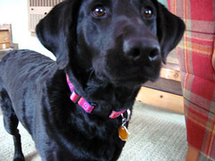 She Waits (excellentlunch) Tags: dog cute lab waiting labrador venus den blacklab labradorretriever collar patience impatience blacklabradorretriever blacklabrador venusdog throwthedamnball