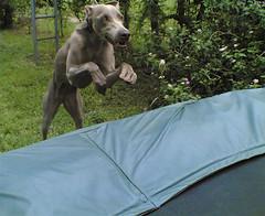 jump (saikiishiki) Tags: dog playing love happy grey fly flying jump jumping backyard funny play faces action air gray trampoline weimaraner kawaii funnyfaces airborne 犬 ♥ weim greyghost mukha 可愛い nokia6682 weimie ワイマラナー waimarana saikiishiki