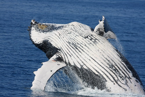 Hervey Bay whale watching australia