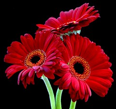 Three Of A Kind! (Vanda's Pictures) Tags: red macro three petal gerbera daisy vanda bec excellence blueribbonwinner fantasticflowers 1on1flowers masterphotos