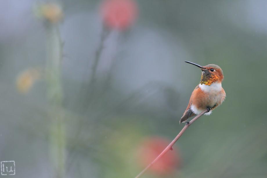 Allen's Hummingbird 102010-2