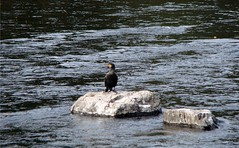 Cormorant Waiting for Food (joncandy) Tags: park autumn wales river photo image cardiff picture cormorant taff bute joncandy