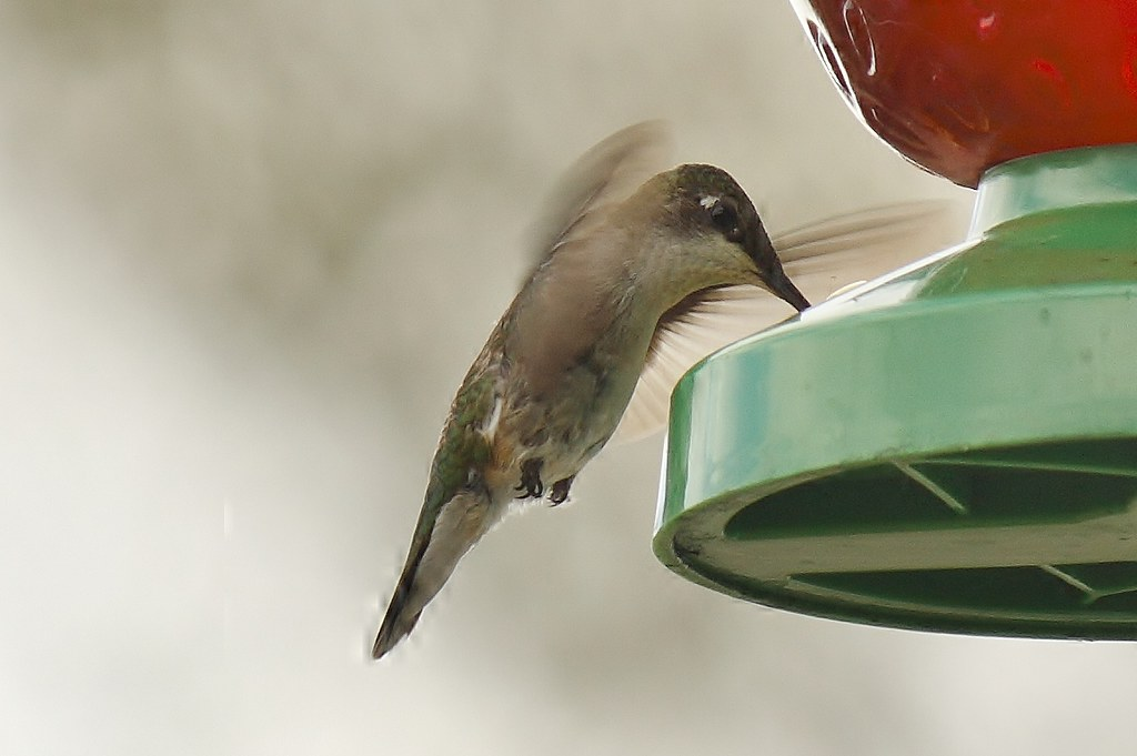 Ruby-throated hummingbird (17)