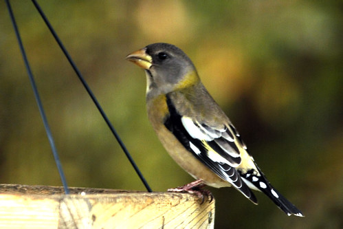 grosbeak window