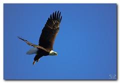 American Bald Eagle (Nature Photos by Scott) Tags: wild bird nature birds outdoors eagle florida wildlife birding baldeagle eagles birdsofprey americanbaldeagle joeoverstreetlanding
