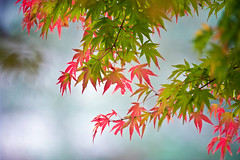 Japanese Maple Colors In November (aeschylus18917) Tags: park flowers autumn trees tree fall nature leaves japan garden season maple nikon seasons fallcolors autumncolors japanesemaple acer  mapletree kouyou saitama    acerpalmatum  mapleleaves  palmatum koyo saitamaken koyou koma     kinchakuda  japanesemapletree sapindaceae 200400mm 200400mmf4gvr saitamaprefecture irohamomiji d700  smoothjapanesemaple  danielruyle aeschylus18917 danruyle druyle    hann hannshi kinchakudapark 200400mmf40gvr