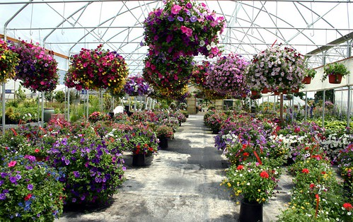 ferguson's fragrant nursery