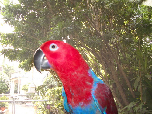 Jazz-the eclectus