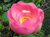 nelumbium flower.jpg (Cyberfug) Tags: flowers plants macro nature searchthebest fiori naturalmente fantasticflowers nelumbium