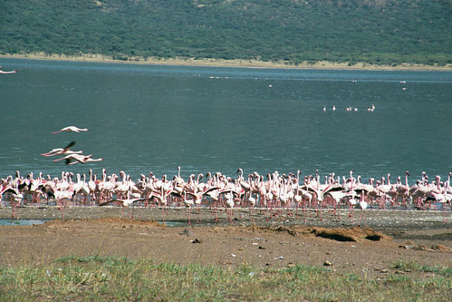 LB Lake Bogoria Flamingos1