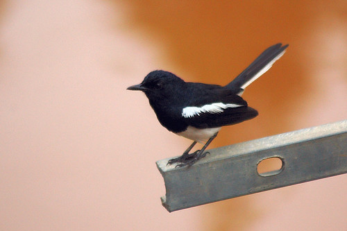 Did You Know That Magpies Use Self Storage To Attract Mates?