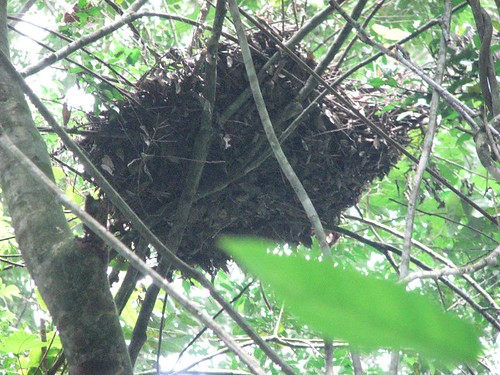 A beautiful old bonobo nest