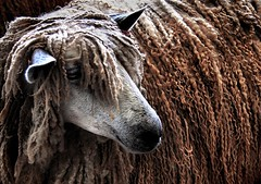 the sheep that wanted to be beautiful (Dan65) Tags: show dreadlocks sheep yorkshire great explore 136 ewe abigfave ldlportraits