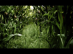 Claustrophobia (Kevin Day) Tags: field photoshop corn widescreen buckinghamshire creamed slough berkshire kevday langley sweetcorn claustrophobia langleypark langleycountrypark hiddenintheshadows