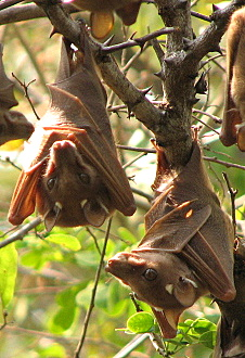 2 fruit bats in hotel garden