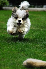 go, gizmo, go! (Dan65) Tags: dog grass 22 jump small run explore hop maltese gizmo
